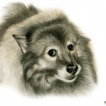 Keeshond portrait in watercolor