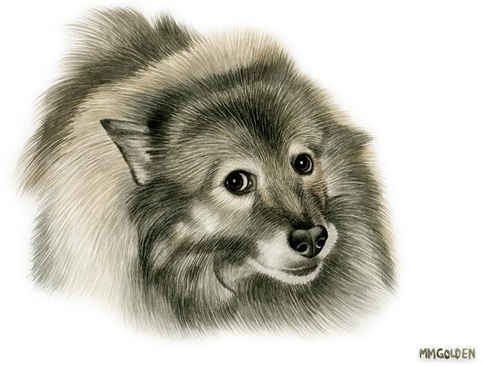 Keeshond portrait in watercolor