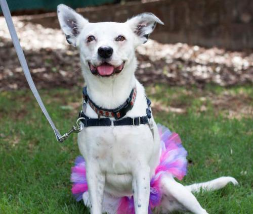 Adoptable dog, Pepper, in a tutu